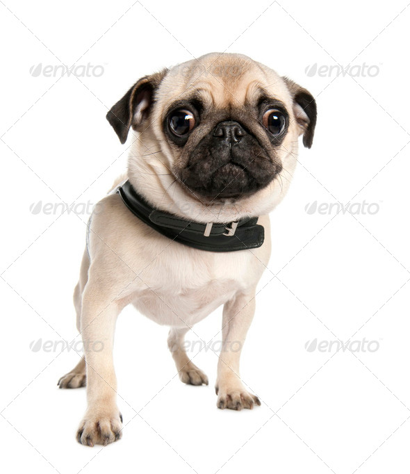 pug (17 months) - Stock Photo - Images