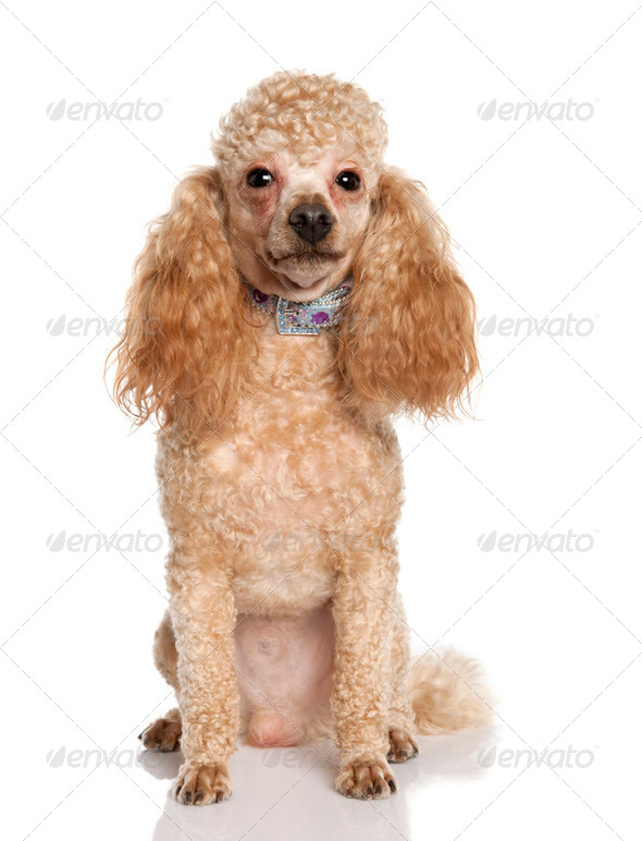 Poodle (1 years old) - Stock Photo - Images