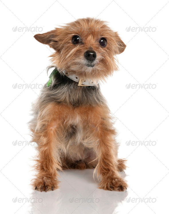 Yorkshire Terrier (9 years old) - Stock Photo - Images