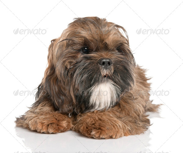 Shih Tzu puppy (6 months old) - Stock Photo - Images