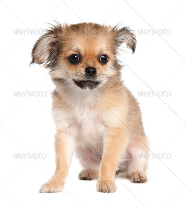 chihuahua (4 months old) - Stock Photo - Images