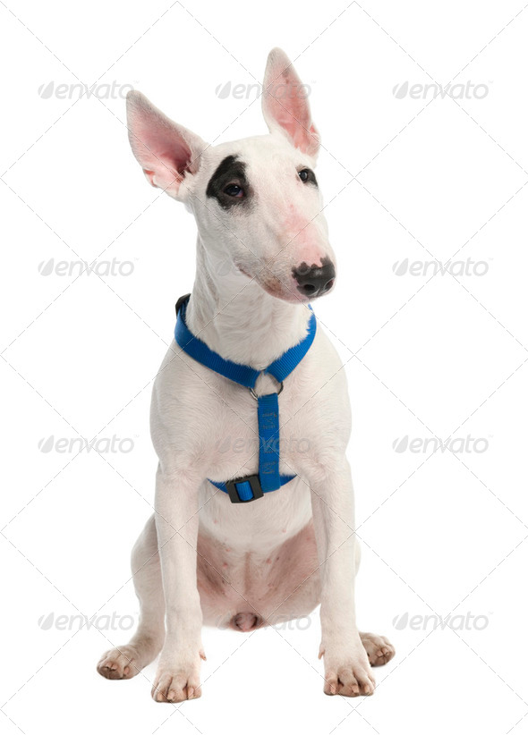 Bull Terrier puppy (7 months old) - Stock Photo - Images