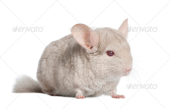 Chinchilla (4 years old) - Stock Photo - Images