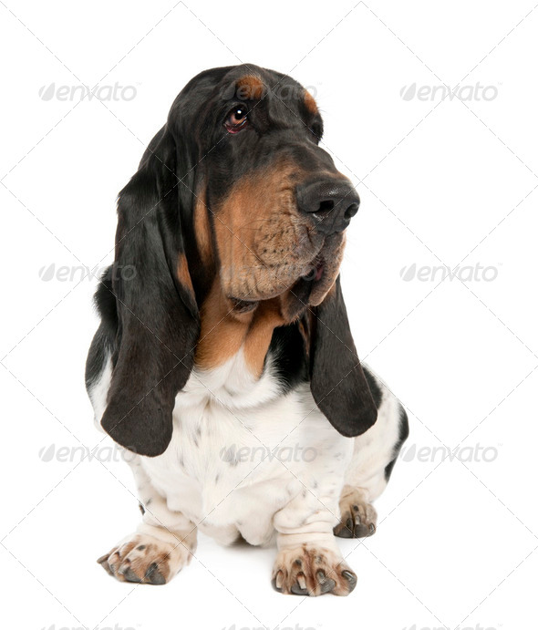 Basset Hound (10 months old) - Stock Photo - Images