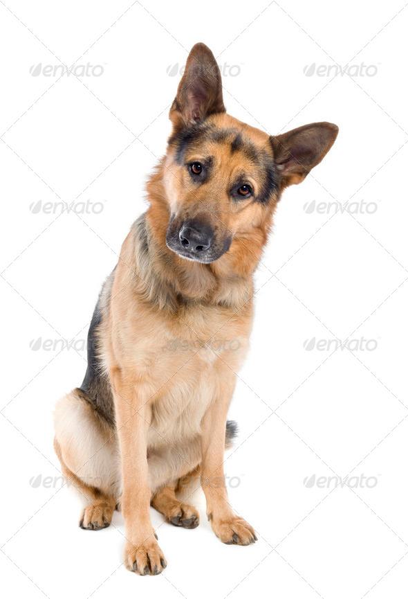 german shepherd (2 years old) - Stock Photo - Images