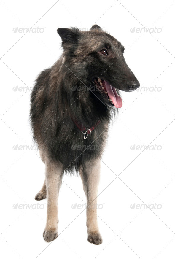 Puppy Belgian Tervuren (2 years old) - Stock Photo - Images