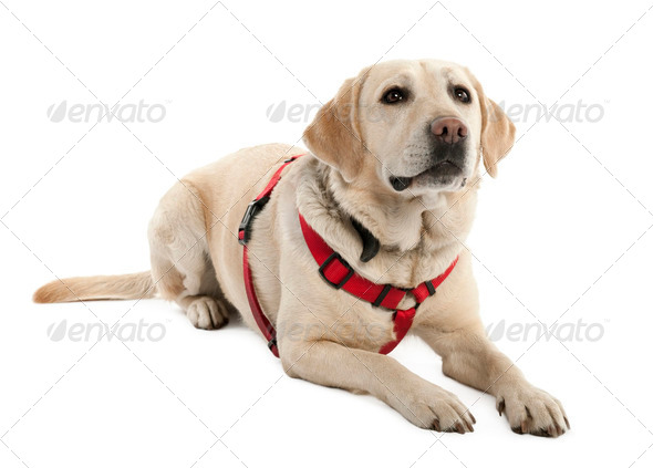 Labrador (4 years old) - Stock Photo - Images