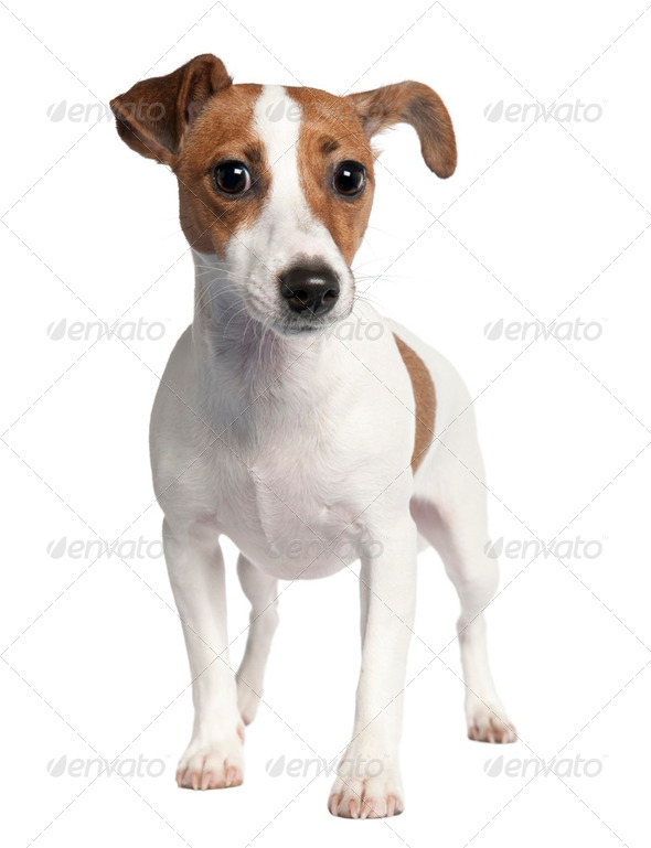 Jack russell (10 months old) - Stock Photo - Images