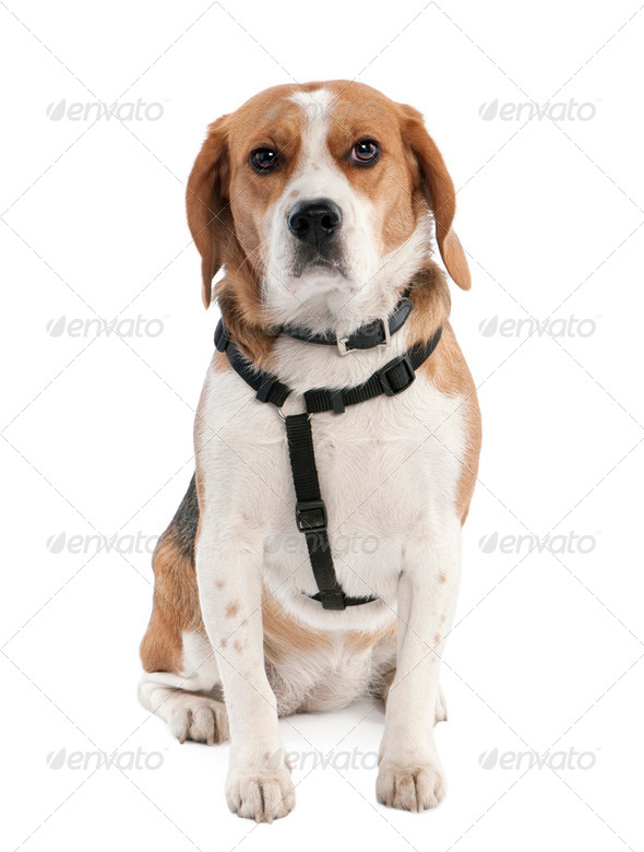 Beagle (2 years old) - Stock Photo - Images