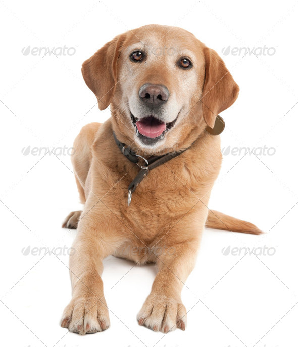 Labrador (7 years old) - Stock Photo - Images