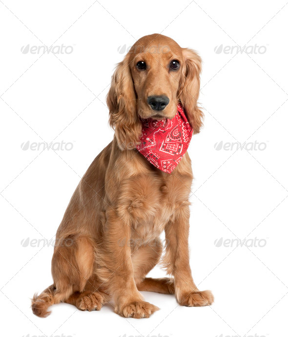 Mixed-Breed Dog with a cocker - Stock Photo - Images
