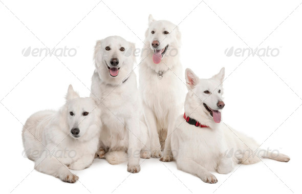 White Shepherd Dog (1 year old) - Stock Photo - Images