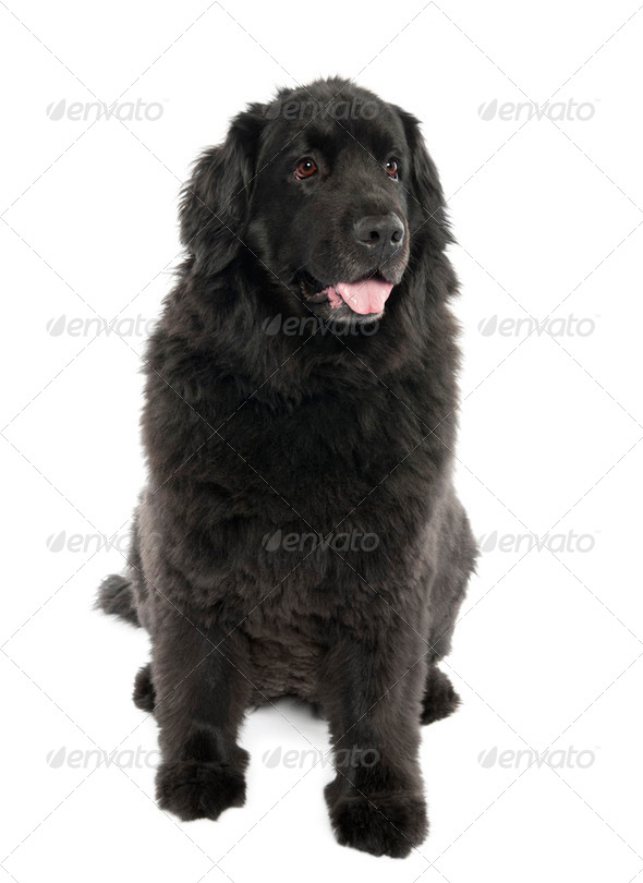 Newfoundland (7 years old) - Stock Photo - Images