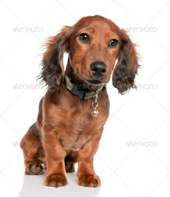 Dachshund puppy (5 months old) - Stock Photo - Images