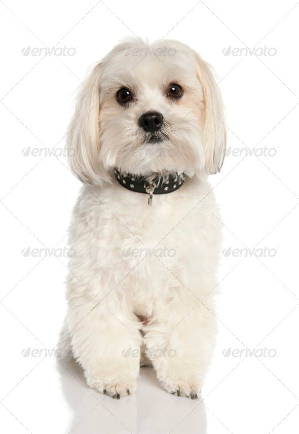 Bastard (2 years old) - Stock Photo - Images