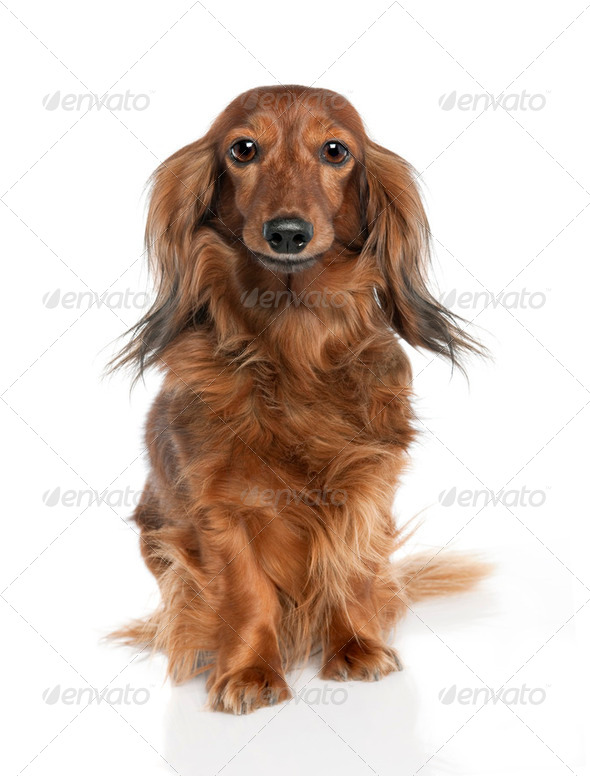Dachshund (7 years old) - Stock Photo - Images