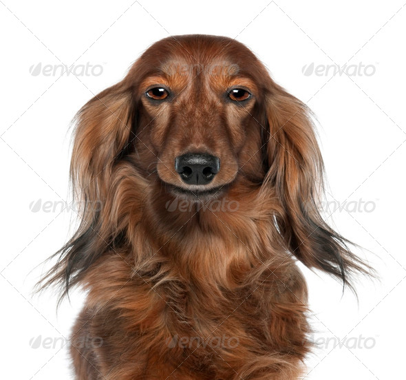 Close-up of a Dachshund's head  looking at the camera (7 years o - Stock Photo - Images