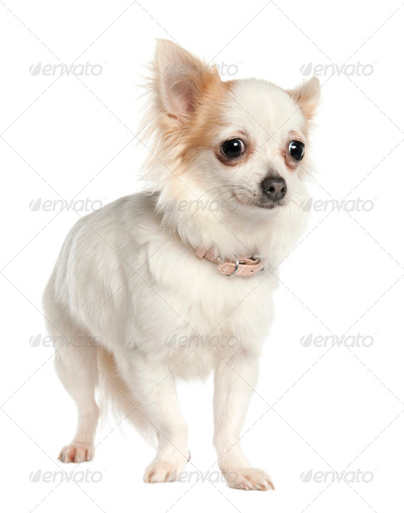 long haired chihuahua (11 months old) - Stock Photo - Images