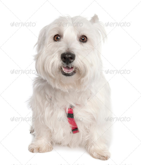 West Highland White Terrier (7 years old) - Stock Photo - Images