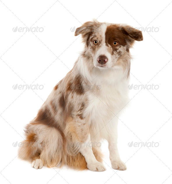 Border Collie (10 months old) - Stock Photo - Images