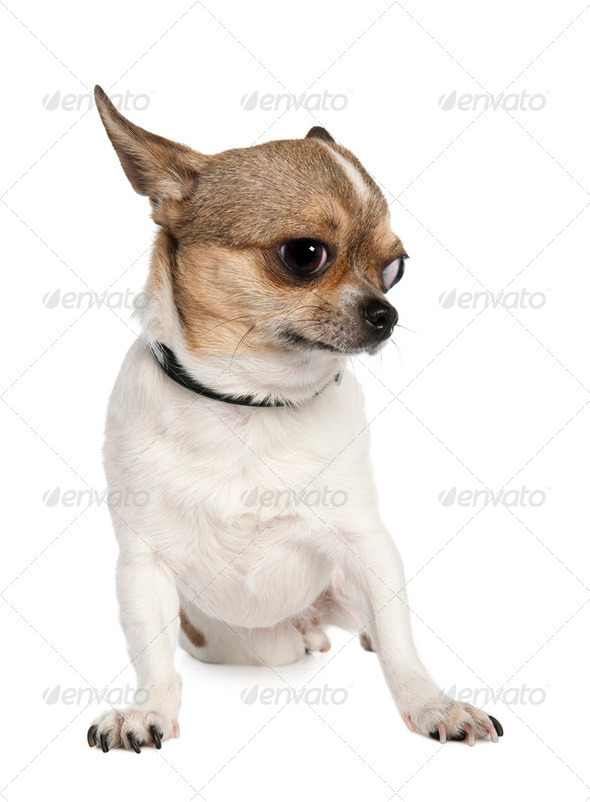 chihuahua (3 years old) - Stock Photo - Images