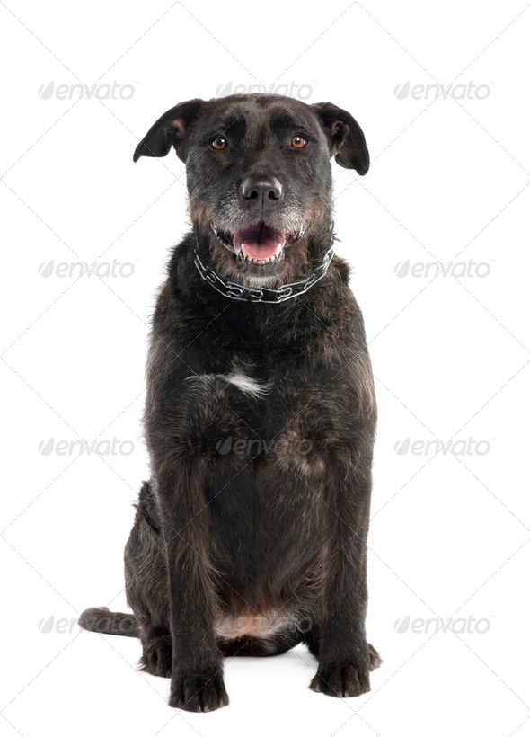 Mixed-Breed Dog between a bernese mountain and an american staffordshire terrier - Stock Photo - Images