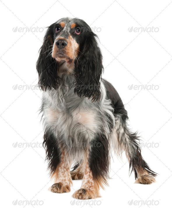 English Springer Spaniel (2 years old) - Stock Photo - Images