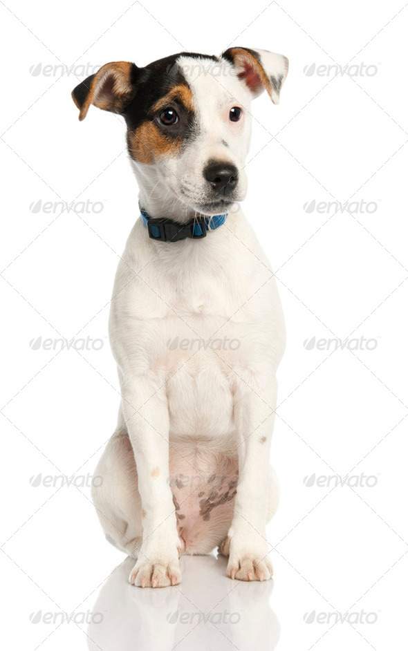 Jack russell puppy (5 months old) - Stock Photo - Images