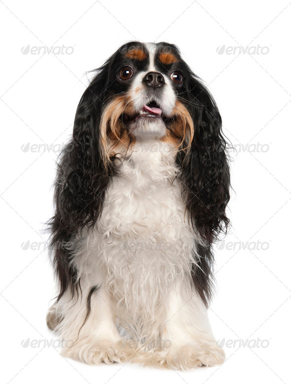 Cavalier King Charles Spaniel (3 years old) - Stock Photo - Images