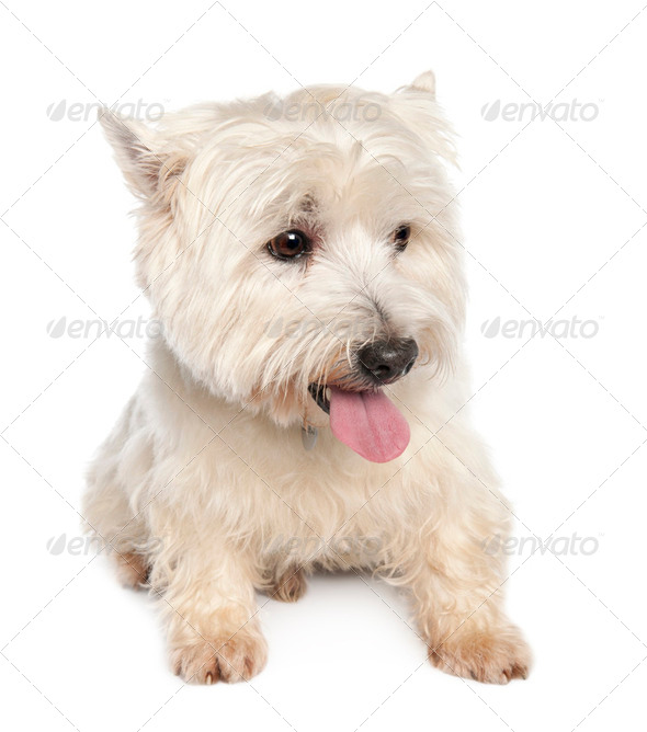 West Highland White Terrier (10 years) - Stock Photo - Images