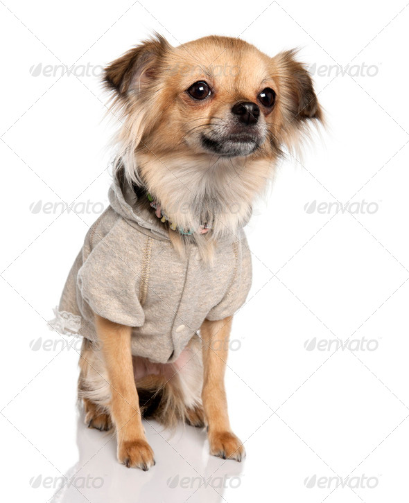long haired chihuahua (2 years old) - Stock Photo - Images