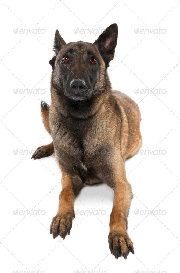 Puppy Belgian Tervuren (5 years old) - Stock Photo - Images