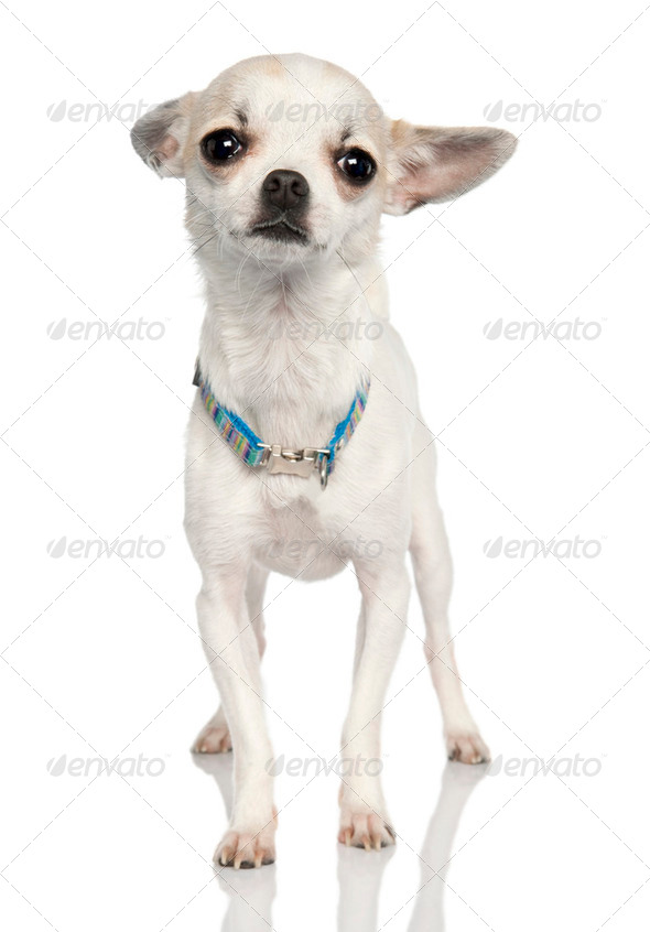 chihuahua (11 months old) - Stock Photo - Images