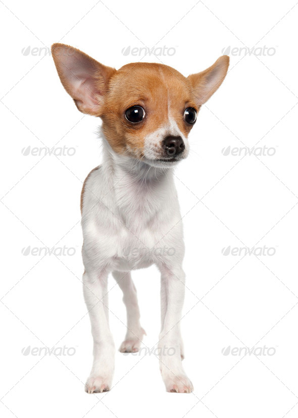 chihuahua puppy (4 months old) - Stock Photo - Images