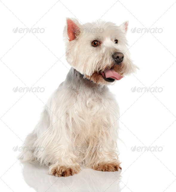 West Highland White Terrier (5 years old) - Stock Photo - Images