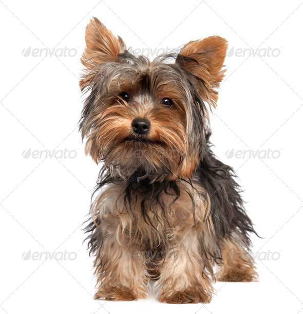 Yorkshire Terrier puppy (5 months old) - Stock Photo - Images