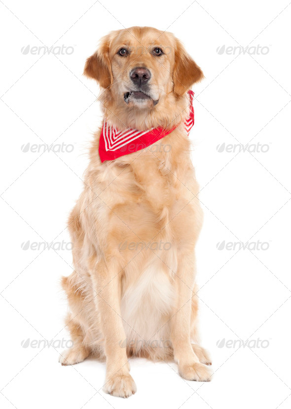 Golden Retriever (17 mopnths old) - Stock Photo - Images