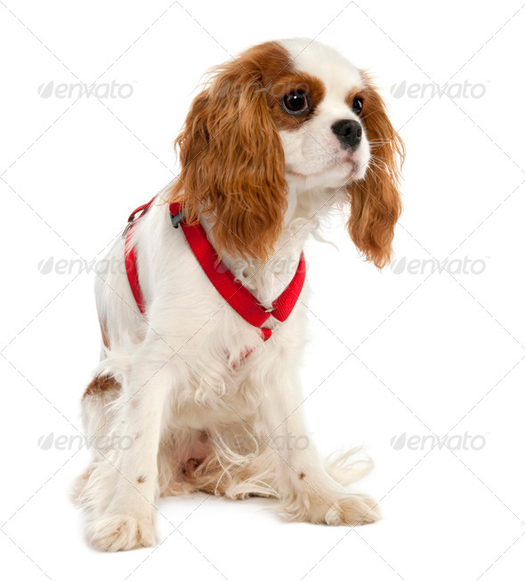 Cavalier King Charles Spaniel puppy (7 months old) - Stock Photo - Images