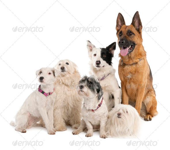 group of german shepherd, border collie and some crossbreed - Stock Photo - Images