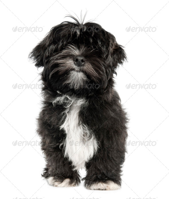 Lhasa Apso puppy (4 months old) - Stock Photo - Images