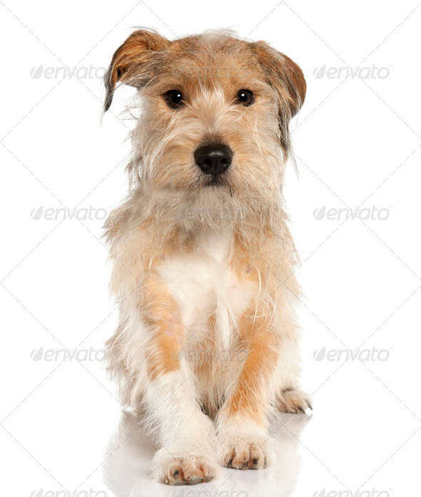 Mixed-Breed Dog with a griffon (18 months old) - Stock Photo - Images