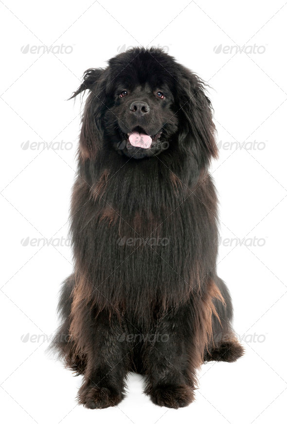 Newfoundland (1 year old) - Stock Photo - Images