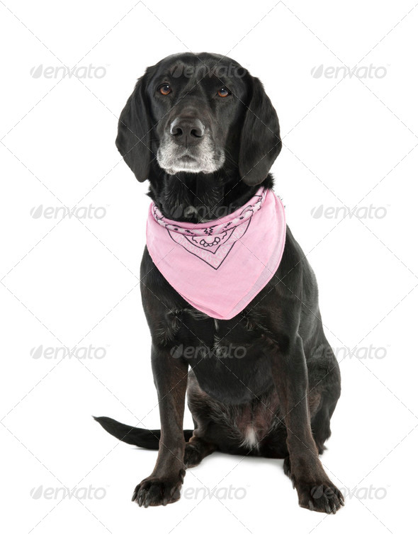 Mixed-Breed Dog between a cocker and a labrador (5 months old) - Stock Photo - Images