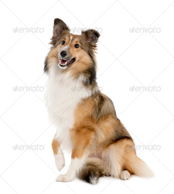 sheltie (8 months old) - Stock Photo - Images