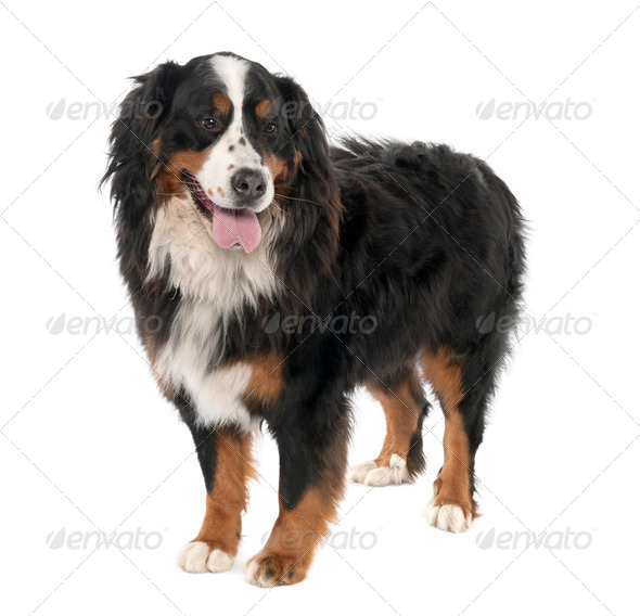 Bernese mountain dog (3 years old) - Stock Photo - Images