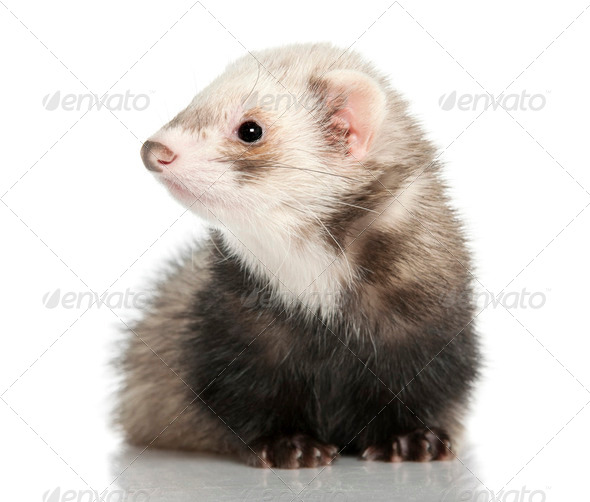 ferret - Mustela putorius furo (8months old) - Stock Photo - Images