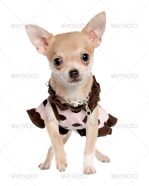chihuahua puppy (5 months old) - Stock Photo - Images