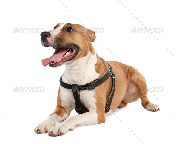 Mixed-Breed Dog between a bull terrier and a boxer (3 years old) - Stock Photo - Images