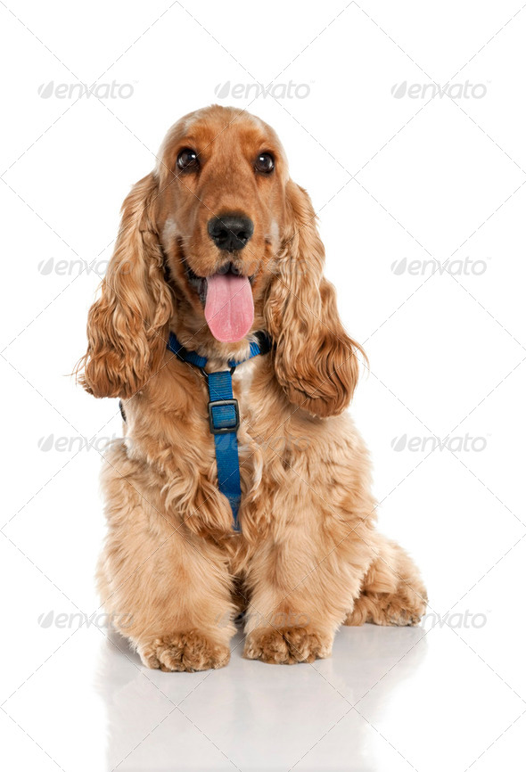 Cocker (10 months old) - Stock Photo - Images