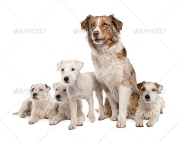 group of 4 Parson Russell Terrier and a Australian Shepherd - Stock Photo - Images